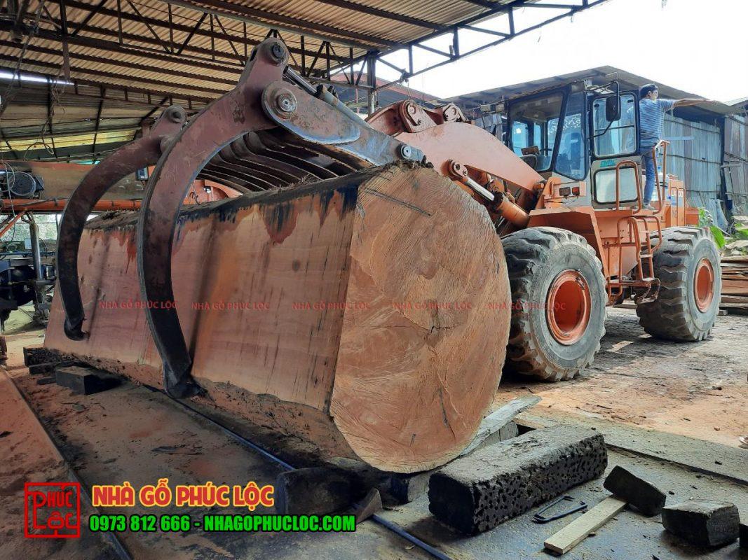 Cây gỗ lim to được đặt vào vị trí để chuẩn bị xẻ